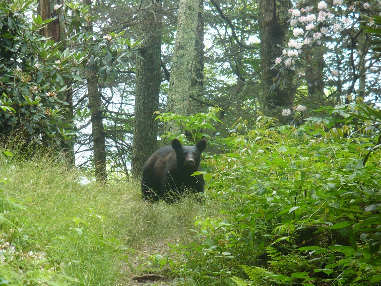 Black Bear at Cosby Knob